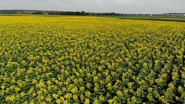 Thumbnail for Field of Flowering Sunflowers