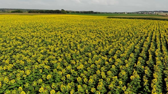 Thumbnail for Flight Over Flowering Sunflowers, Sunny Day