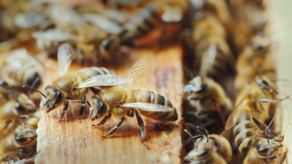 Thumbnail for On the Wooden Frame of the Bee Hive, Many Bees Gathered To Create Wax and Honey