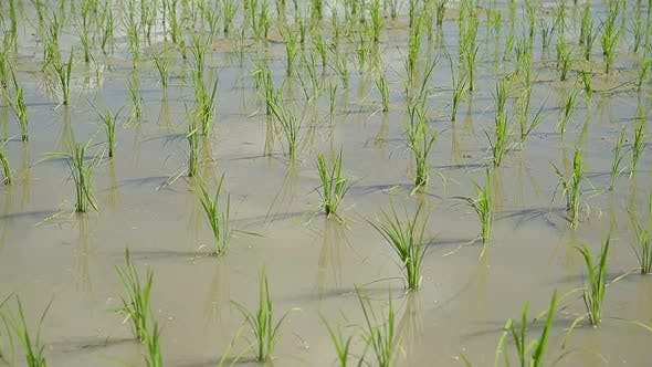 Thumbnail for Planting new rice fields