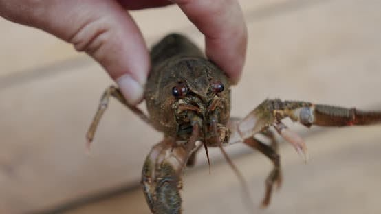 Thumbnail for Healthy and Active Fresh River Lobster or Crayfish Holding Male Fingers. Close Up