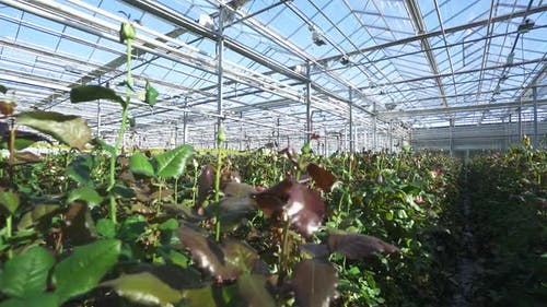 Nature Camera Spans Through Wild Rose Bushes View of Flowers Roses Inside the Glass Greenhouse Wide