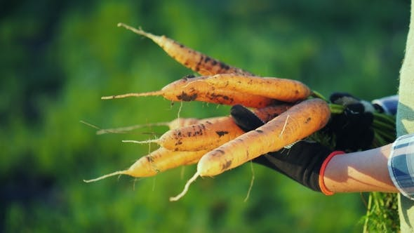 Thumbnail for Farmer in Gloves Holds a Large Bunch of Carrots