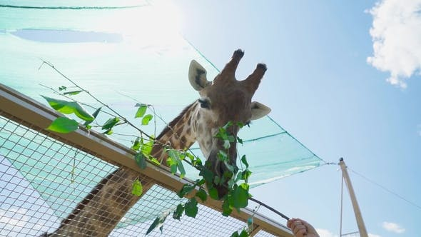 Huge Giraffe Eats Twig with Leaves in the Zoo