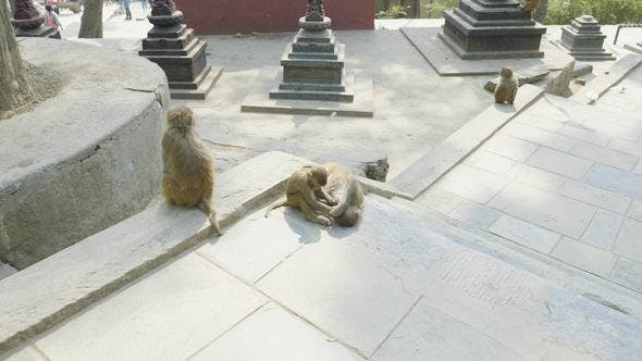 Thumbnail for Monkey Family in Swayambhunath Temple. Kathmandu, Nepal