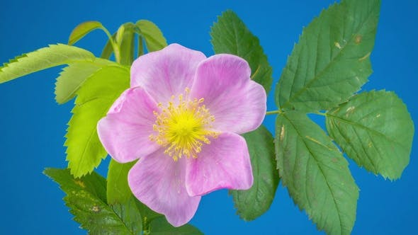Thumbnail for Timelapse of Dogrose Flower Blooming