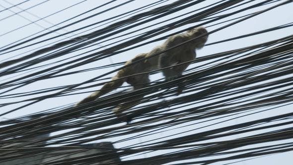 Thumbnail for Monkey on the Electricity Cable in the City. Kathmandu, Nepal