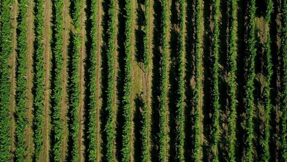 Thumbnail for Aerial View of a Green Summer Vineyard. Grape Field