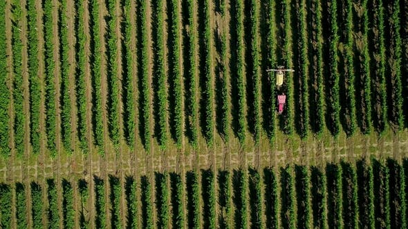 Cover Image for Aerial View of a Tractor Harvesting Grapes in a Vineyard. Farmer Spraying Grape Vines with Tractor