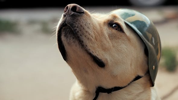 Thumbnail for Beautiful Adult Golden Labrador Dog in Military Helmet. Doggy Smiling. He's Feeling Hot at Summer