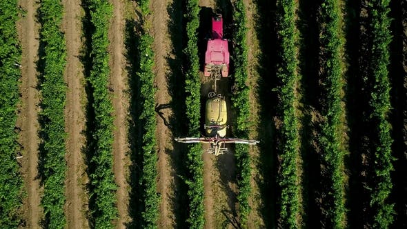 Thumbnail for Aerial View of a Tractor Harvesting Grapes in a Vineyard. Farmer Spraying Grape Vines with Tractor