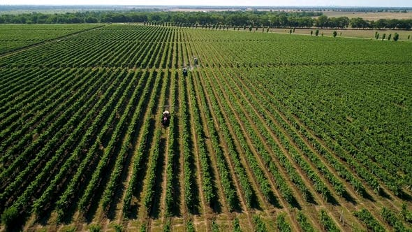Aerial View of a Tractor Harvesting Grapes in a Vineyard. Farmer Spraying Grape Vines with Tractor