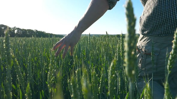 Thumbnail for of Male Hand Moving Over Wheat Growing on the Meadow on Sunny Summer Day. Young Farmer Walking