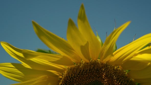 Detailed Shooting of a Sunflower