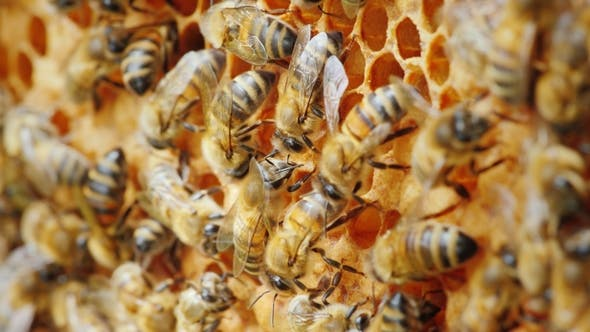 Thumbnail for Ecologically Clean Production. Bees Are Engaged in the Production of Delicious Honey From a Natural