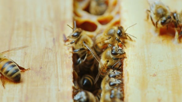 Cover Image for A  of a Bee Family at Work, Chaotic Motion Over Wooden Frames Inside the Hive
