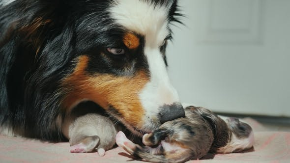 Portrait of an Australian Shepherd, Gently Licks a Newly Born Puppy. Care for the Offspring