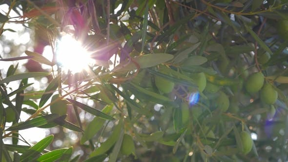 Thumbnail for Sun Shining Through the Olive Tree Branches