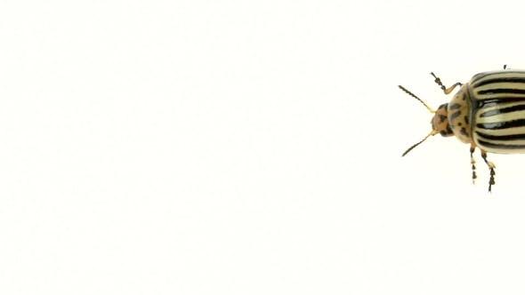 Thumbnail for of Colorado Walking on White Background
