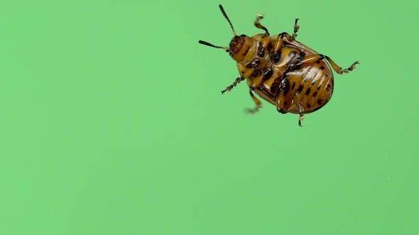 Thumbnail for Colorado Potato Beetle Bug Walking on Green Screen