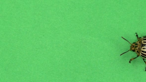 Thumbnail for Colorado Beetle on Green Screen