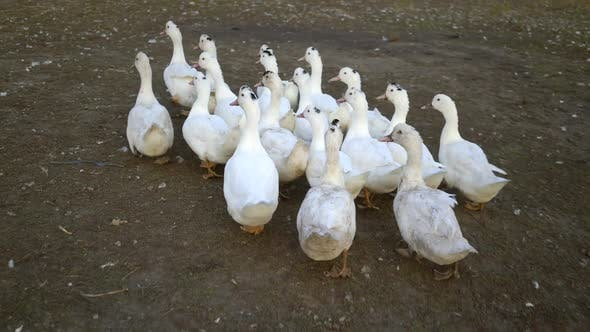 Thumbnail for White Geese Walking Outdoors