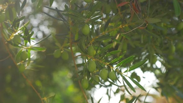 Thumbnail for Green Tree Branch with Olives on Sunny Day