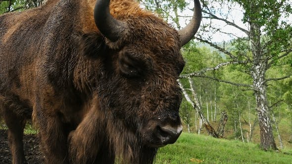 Thumbnail for Closeup of a Frightened European Bison