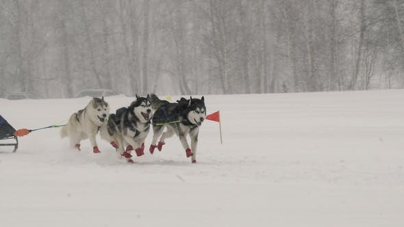 Thumbnail for A Team of Four Sled Husky Dogs Participates in a Race