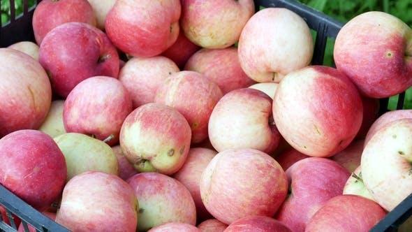 Thumbnail for Apple Fruits Harvest Video