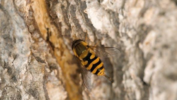 Hoverfly jaune-noir