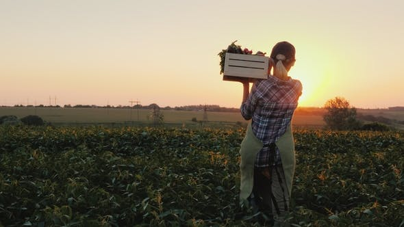Cover Image for Rear View: A Female Farmer with a Box of Fresh Vegetables Walks Along Her Field. Healthy Eating and