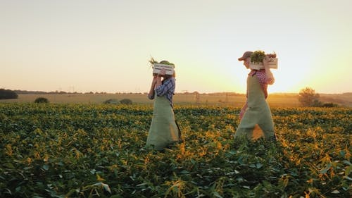A Family of Farmers Carries Boxes with Vegetables Across the Field. Organic Farming and Healthy