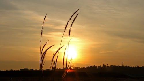 Lalang Grass At Sunset III