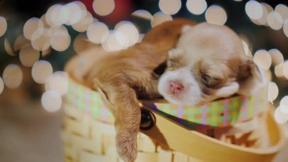 Thumbnail for Cute Puppy Sleeping in a Basket Background of Blurry Lights
