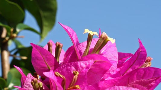 Cover Image for Bougainvillea And Blue Sky Close Up