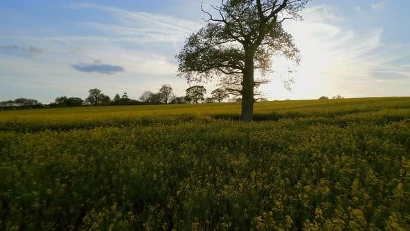 Old Oak Tree and Oilseed Field at Sunset Aerial