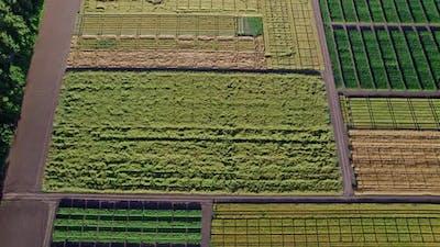 Corn Field Flight Over the Cream of Corn Stalks Excellent Growth