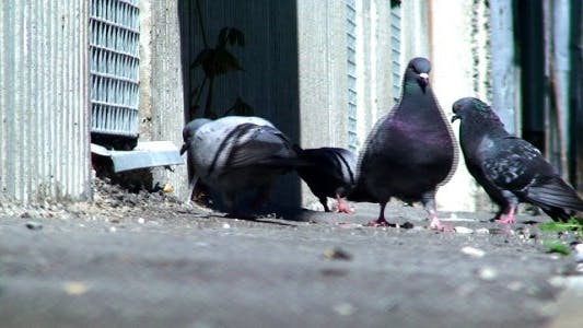 Thumbnail for Pigeons in the City