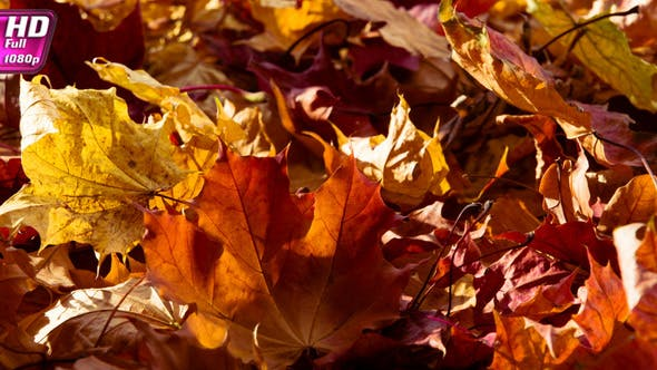 Thumbnail for Dry Colors Of Autumn Leaves