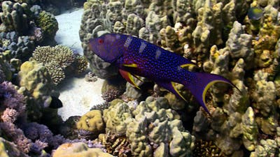 COral Gruper Fish On Coral Reef
