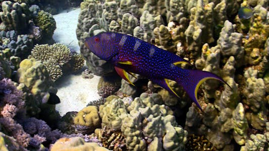 Thumbnail for COral Gruper Fish On Coral Reef