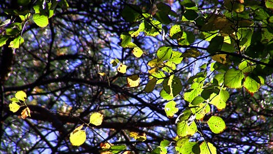 Cover Image for Autumn Leaves