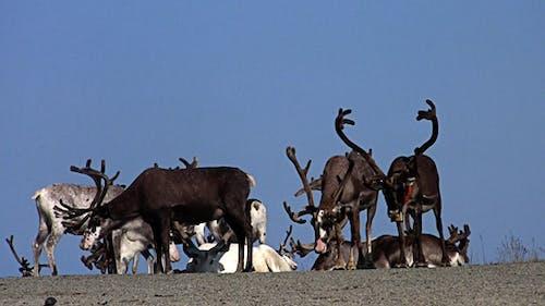 Reindeer At Rest