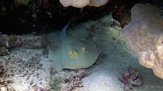 Thumbnail for Blue Spotted Stingray Under The Coral Reef
