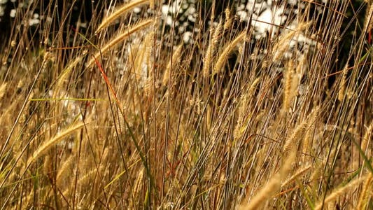 Thumbnail for Lalang Grass In The Morning Light