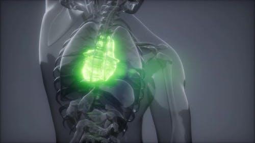 Human Heart Radiology Exam
