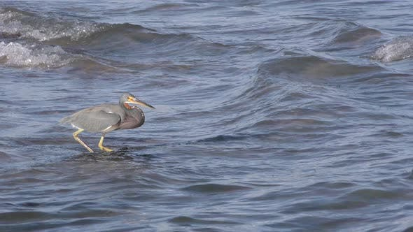 Thumbnail for Tricolored Heron Adult Lone Hunting Foraging in Mexico