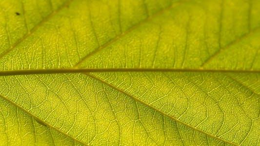 Thumbnail for Green Leaf IV