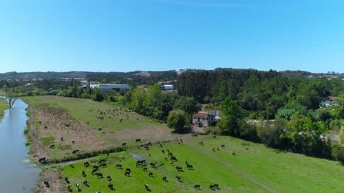 Cows Grazing Fresh Green Grass on the Field. Farm. Animals Graze on a Meadow. Cows on Pasture. Herd